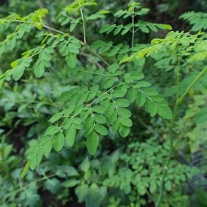 Moringa - roślina pełna miłości