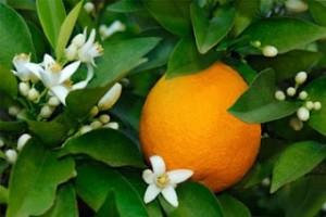 Olejek kwiatu pomarańczy gorzkiej