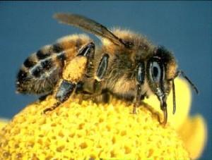 Pyłek kwiatowy i pierzga