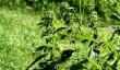 Pokrzywa - pospolita roślina o ważnych właściwościach